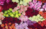 Mỗi loài hoa hồng tượng trưng cho điều gì?