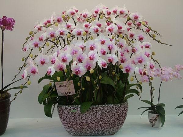Những loại hoa lan nào thường được dùng làm quà tặng? Vì sao?