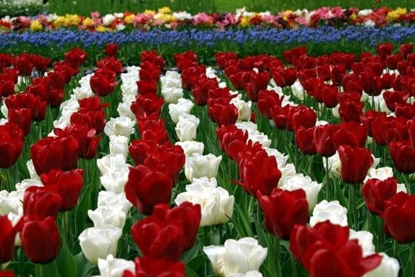 Hoa tulip là biểu tượng của đất nước Hà Lan xinh đẹp