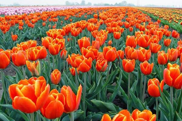 Hoa tulip mang ý nghĩa đặc biệt dành đến cho người mà bạn yêu thương