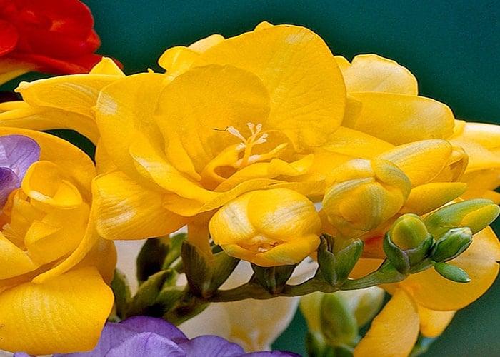 Ý nghĩa của hoa lan Nam Phi