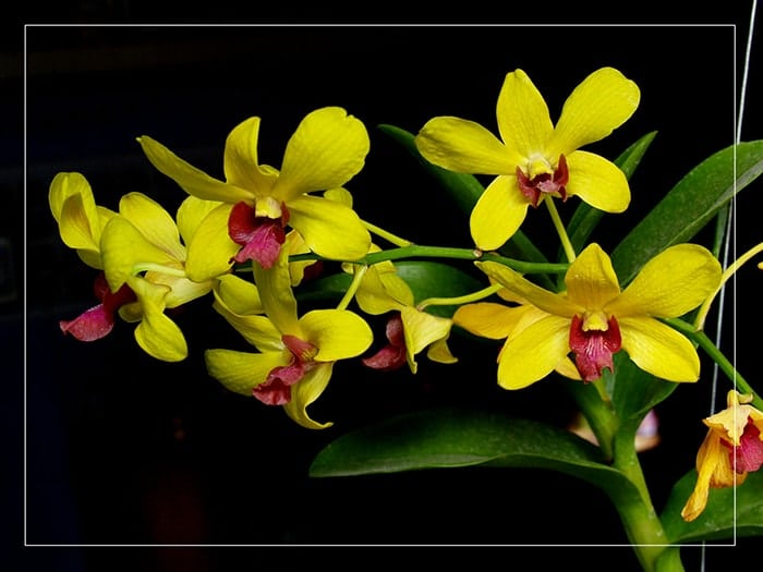 Ý nghĩa của hoa phong lan vàng
