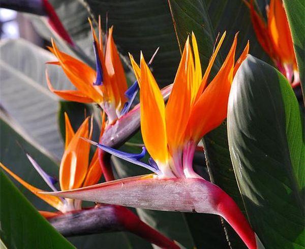 Bird of paradise - Chim Thiên Đường