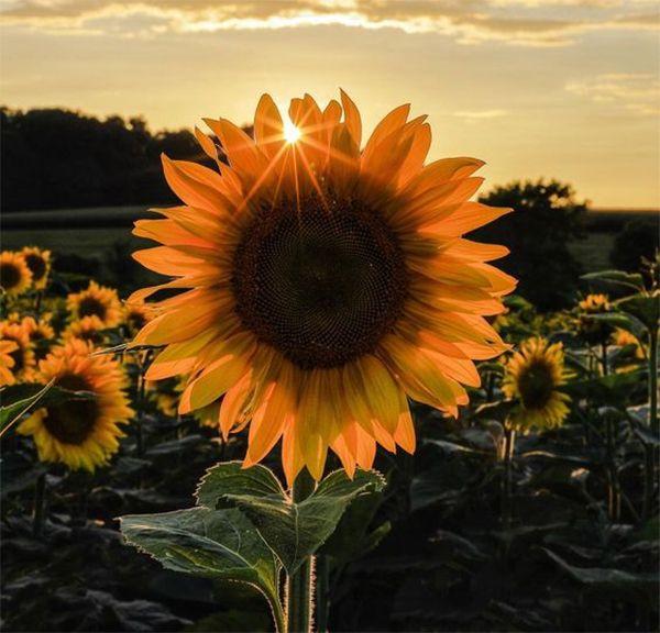 Hoa hướng dương - ông mặt trời nhỏ