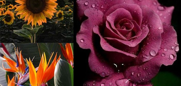 Cùng Shop hoa tươi Mrhoa tìm hiểu 3 loại hoa sinh nhật cho nam