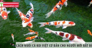 Cách nuôi cá koi Việt cơ bản cho người mới bắt đầu