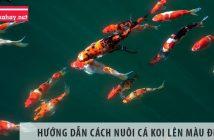 Hướng dẫn cách nuôi cá koi lên màu đẹp